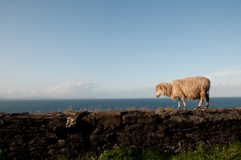 Sheep on rock wall Slea Head